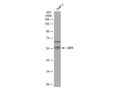 Anti-GFI1 antibody
