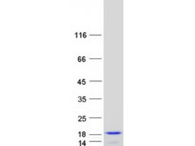 C6orf57 (SDHAF4) (NM_145267) Human Mass Spec Standard