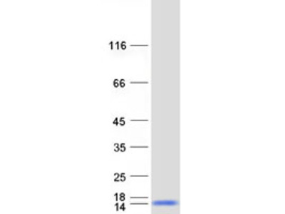 C9orf80 MS Standard C13 and N15-labeled recombinant protein (NP_067041)