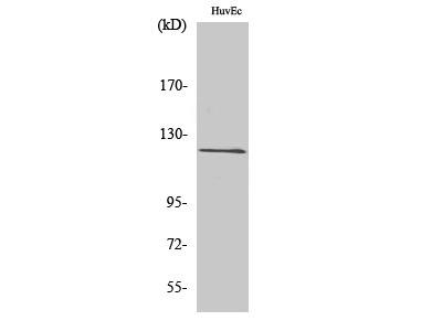 Anti-FARP2 antibody