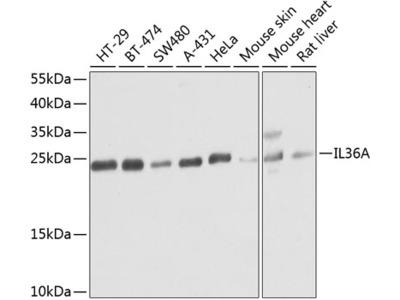 Anti-IL1F6 antibody