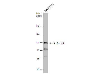 Anti-ALDH1L1 antibody