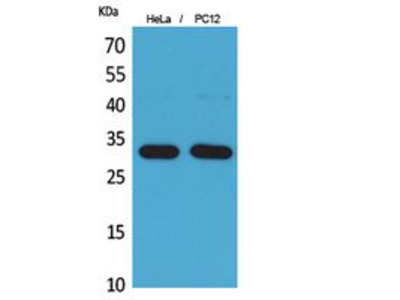 Anti-CD300f antibody