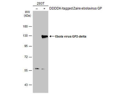 Anti-Ebola virus GP2-delta antibody