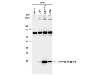 Anti-Flavivirus Capsid protein antibody