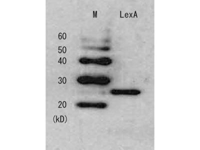 Anti-LexA antibody