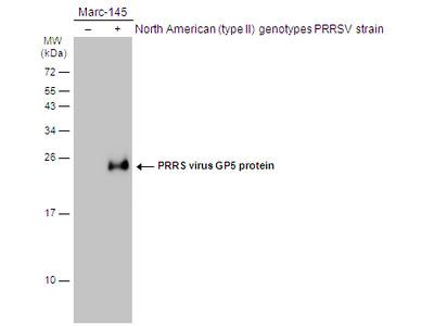 Anti-PRRS virus GP5 protein antibody