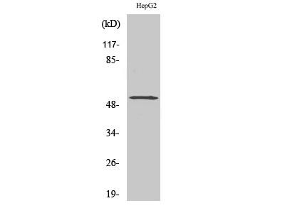 Anti-LILRA2 antibody
