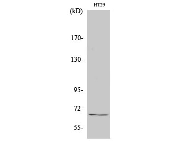 Anti-TAF5L antibody