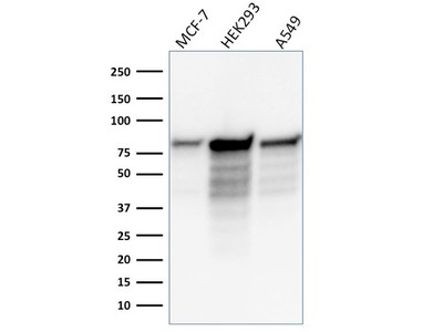 Anti-MCM7 antibody [MCM7/1466]