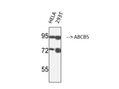 Anti-ABCB5 antibody [11A2]