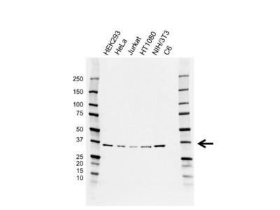 HTRA2 ANTIBODY WITH CONTROL LYSATE