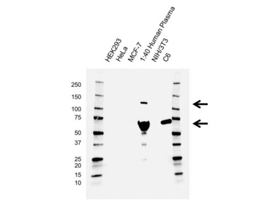 MOUSE ANTI COMPLEMENT C3