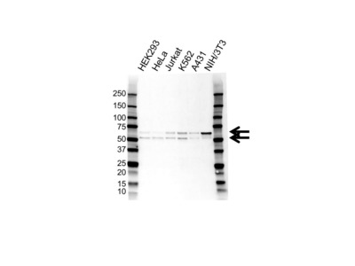 SS18 ANTIBODY WITH CONTROL LYSATE