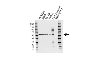 CYTOCHROME P450 1A1 ANTIBODY WITH CONTROL LYSATE