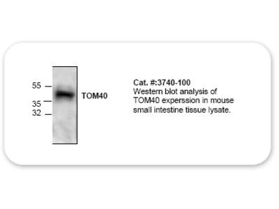Tom 40 Antibody