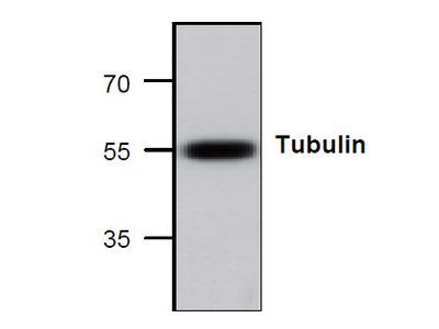 Tubulin Antibody