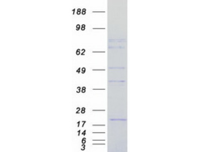 FCHSD2 MS Standard C13 and N15-labeled recombinant protein (NP_055639)