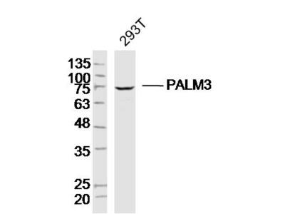 PALM3 Polyclonal Antibody, Biotin Conjugated