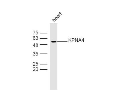 KPNA4 Antibody, Biotin Conjugated