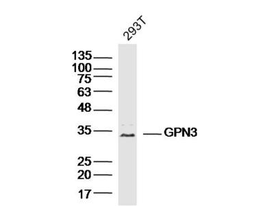 GPN3 Antibody