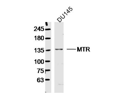 MTR Antibody