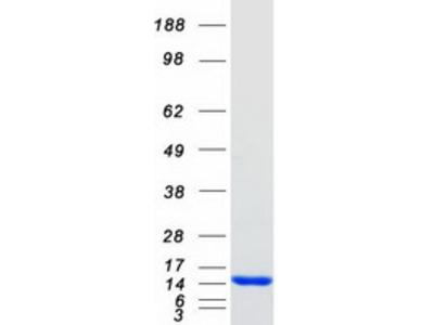 S100A9 (NM_002965) Human Mass Spec Standard