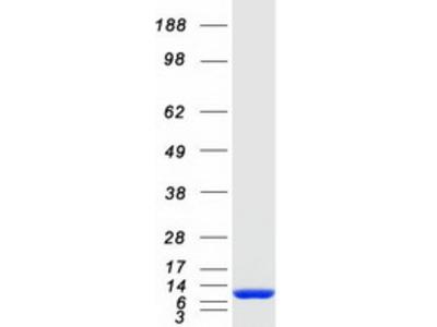 S100 alpha 6 (S100A6) (NM_014624) Human Mass Spec Standard