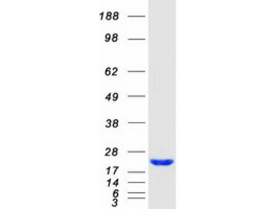 NUDT15 MS Standard C13 and N15-labeled recombinant protein (NP_060753)