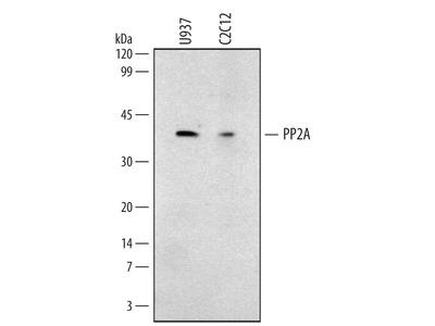 PP2A Catalytic Subunit Antibody
