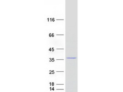 MRPL28 MS Standard C13 and N15-labeled recombinant protein (NP_006419)