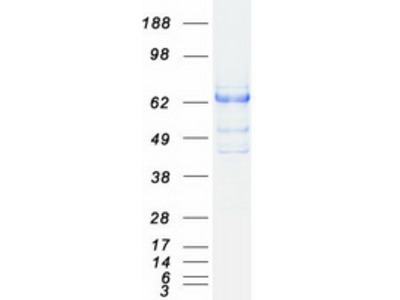 SH2B3 MS Standard C13 and N15-labeled recombinant protein (NP_005466)