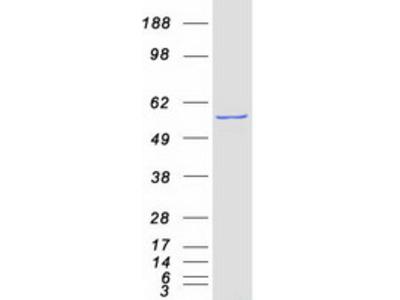 SEPT4 (NM_004574) Human Mass Spec Standard