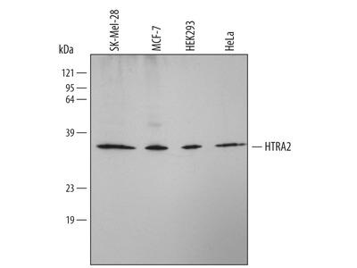 Human HTRA2 / Omi Antibody