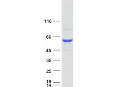 SNTG1 (NM_018967) Human Mass Spec Standard