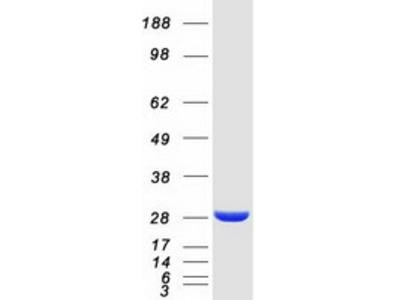 SPR (NM_003124) Human Mass Spec Standard