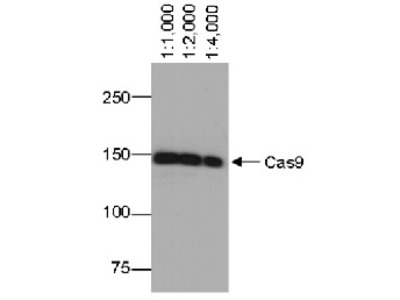 Anti- Cas9 ; CRISPR-associated endonuclease 9 (monoclonal)