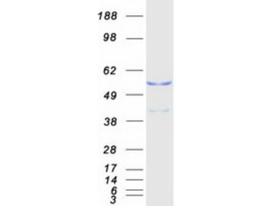 GAPDHS (NM_014364) Human Mass Spec Standard