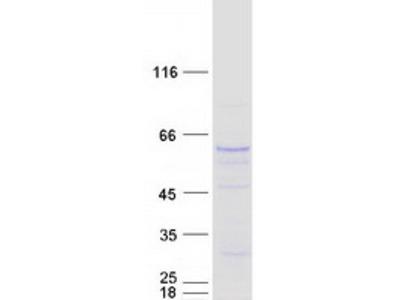 SMOX (NM_175840) Human Mass Spec Standard