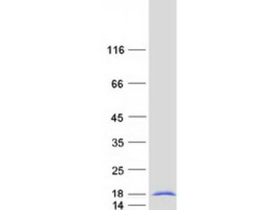 SNRPF (NM_003095) Human Mass Spec Standard