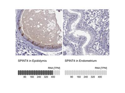 Anti-SPINT4 Antibody