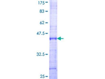 SPON1 / F-Spondin Protein