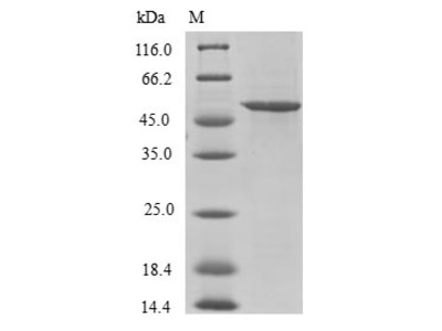 U2AF1L4 Protein