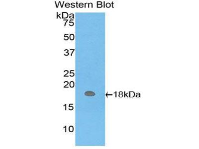 HBM Antibody