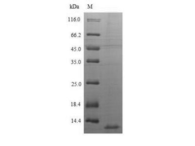 CXCL10 / IP-10 Protein