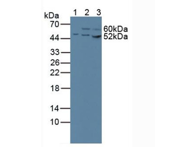 CS / Citrate Synthase Antibody