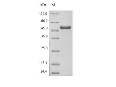 FLII / FLI Protein