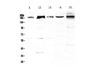 PER1 Antibody