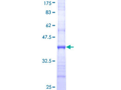 SLC15A1 / PEPT1 Protein