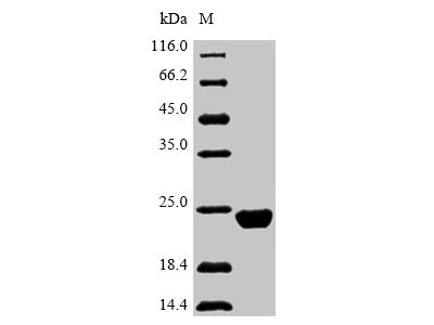 SLC7A10 / Asc-1 Protein